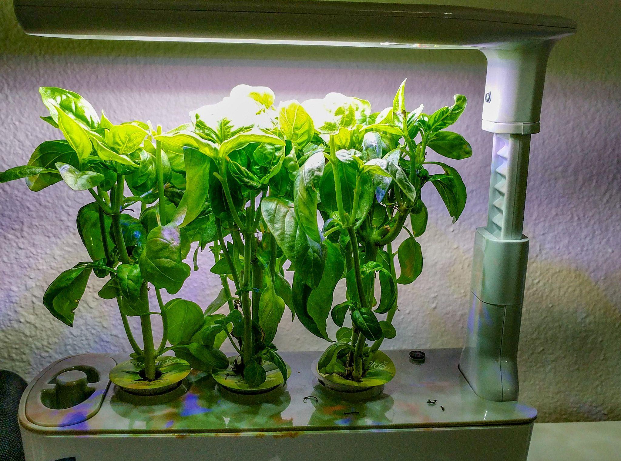 Growing Basil in an AeroGarden