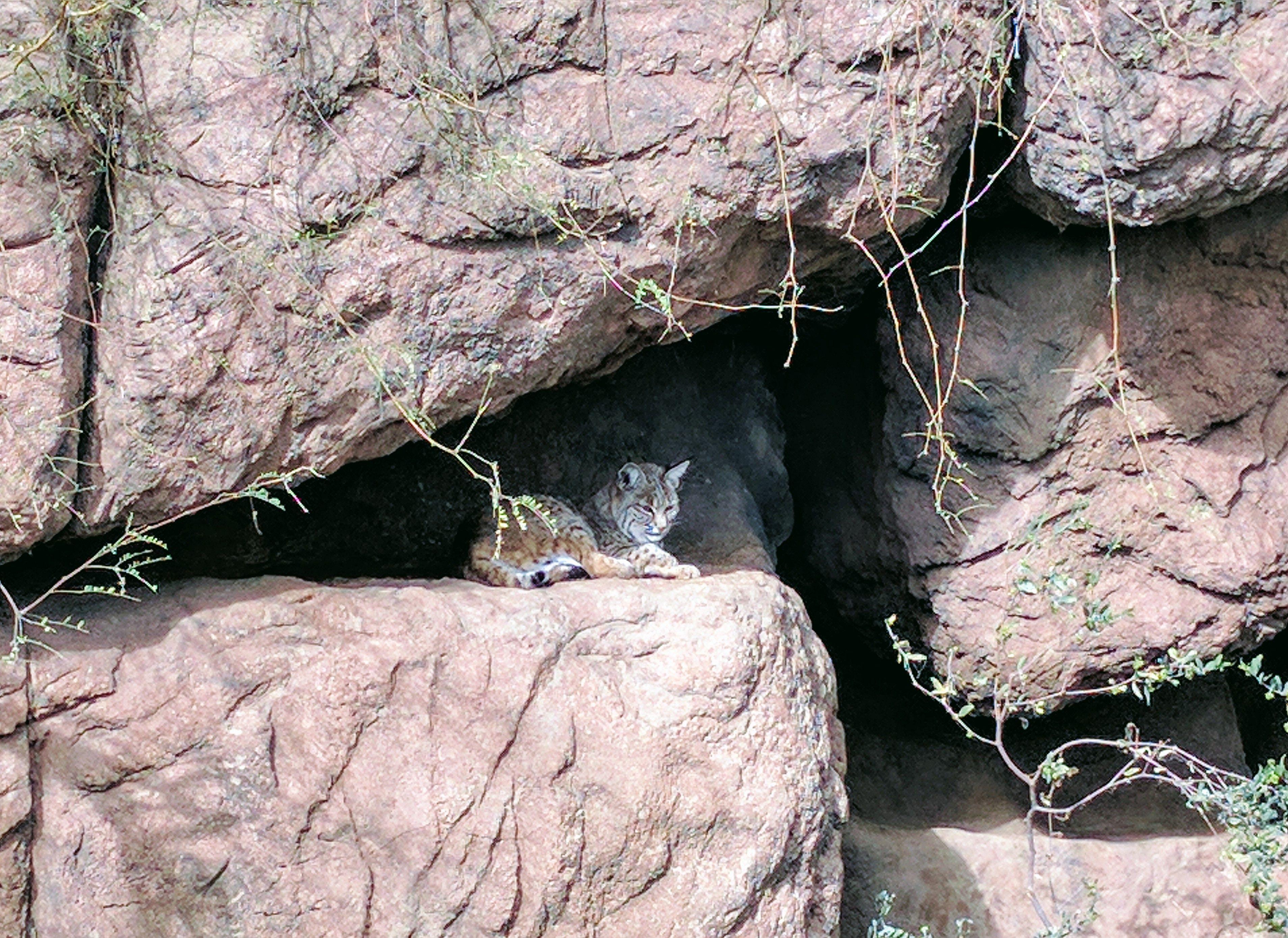 Big Cat at Sonora Arizona Desert Museum