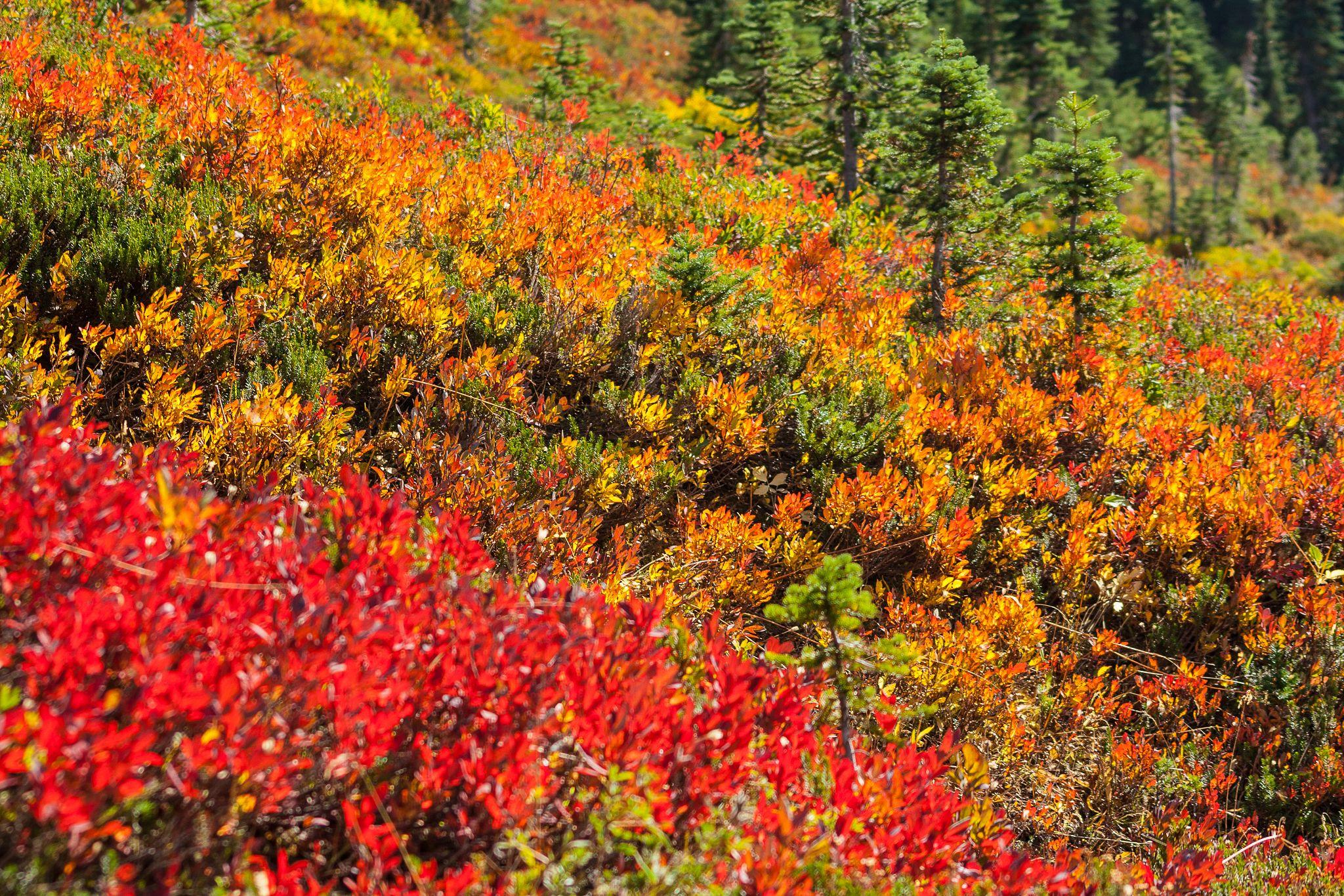 Sub-alpine wildflowers