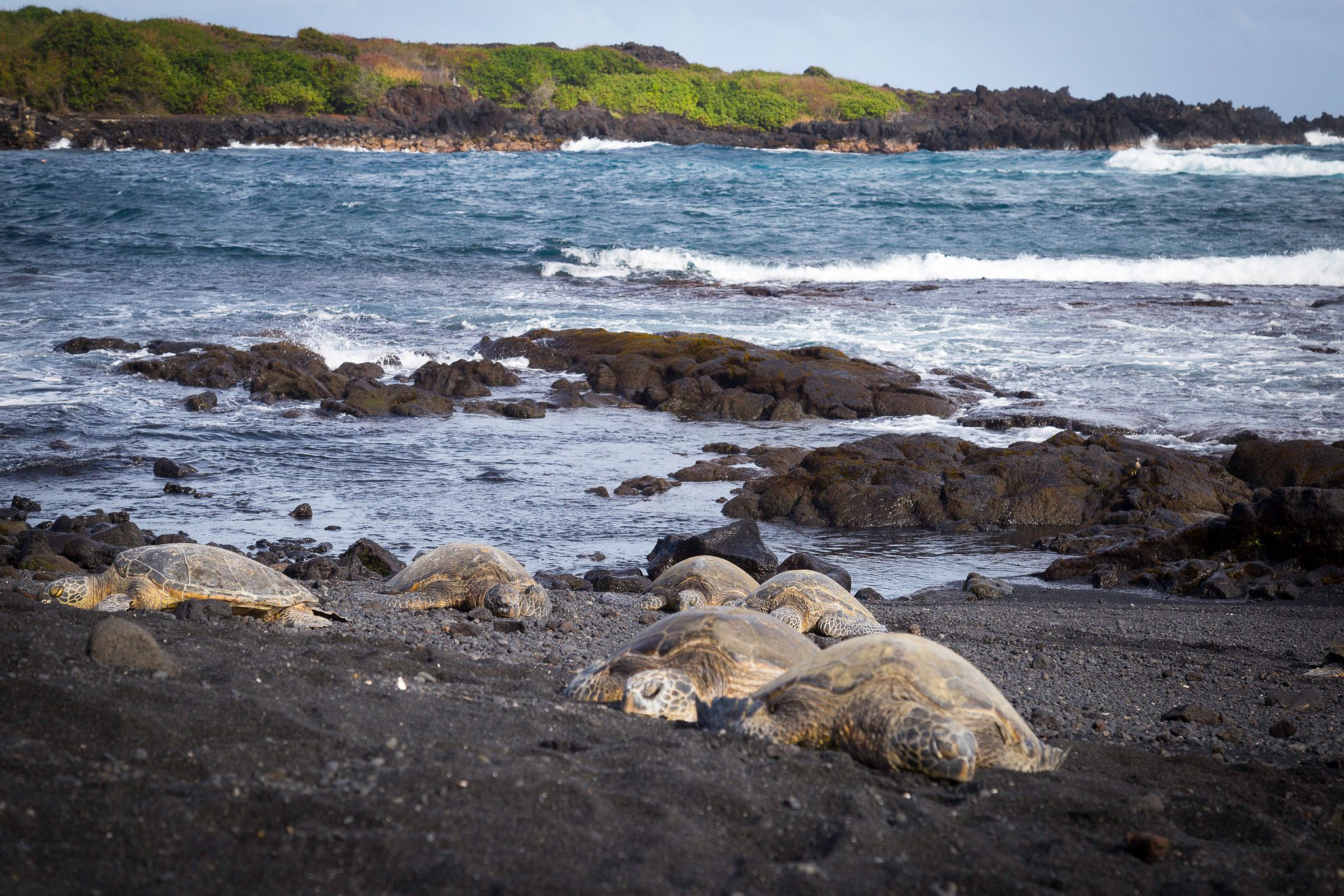 Turtles lounging at black sand beach with ocean in the background.