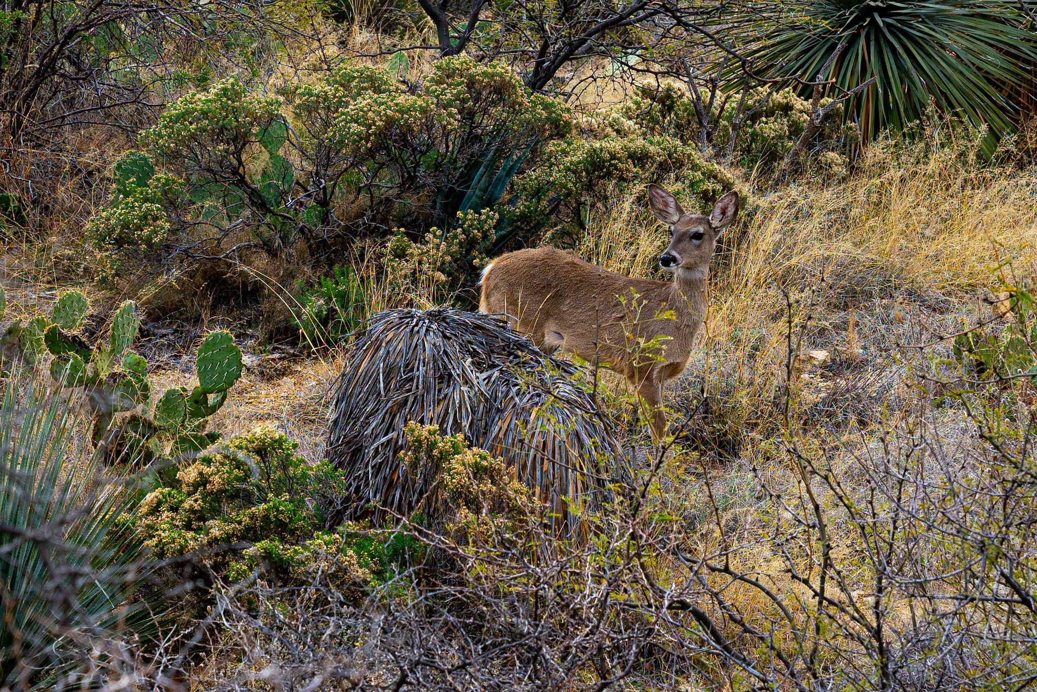 Deer on Tanque Verde Ridge