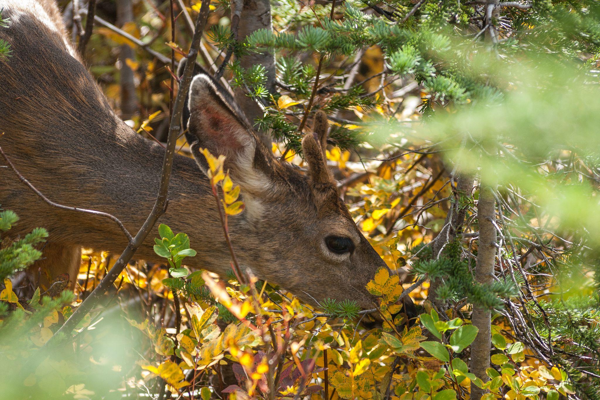 Head of Buck Deer feeding in the bushes