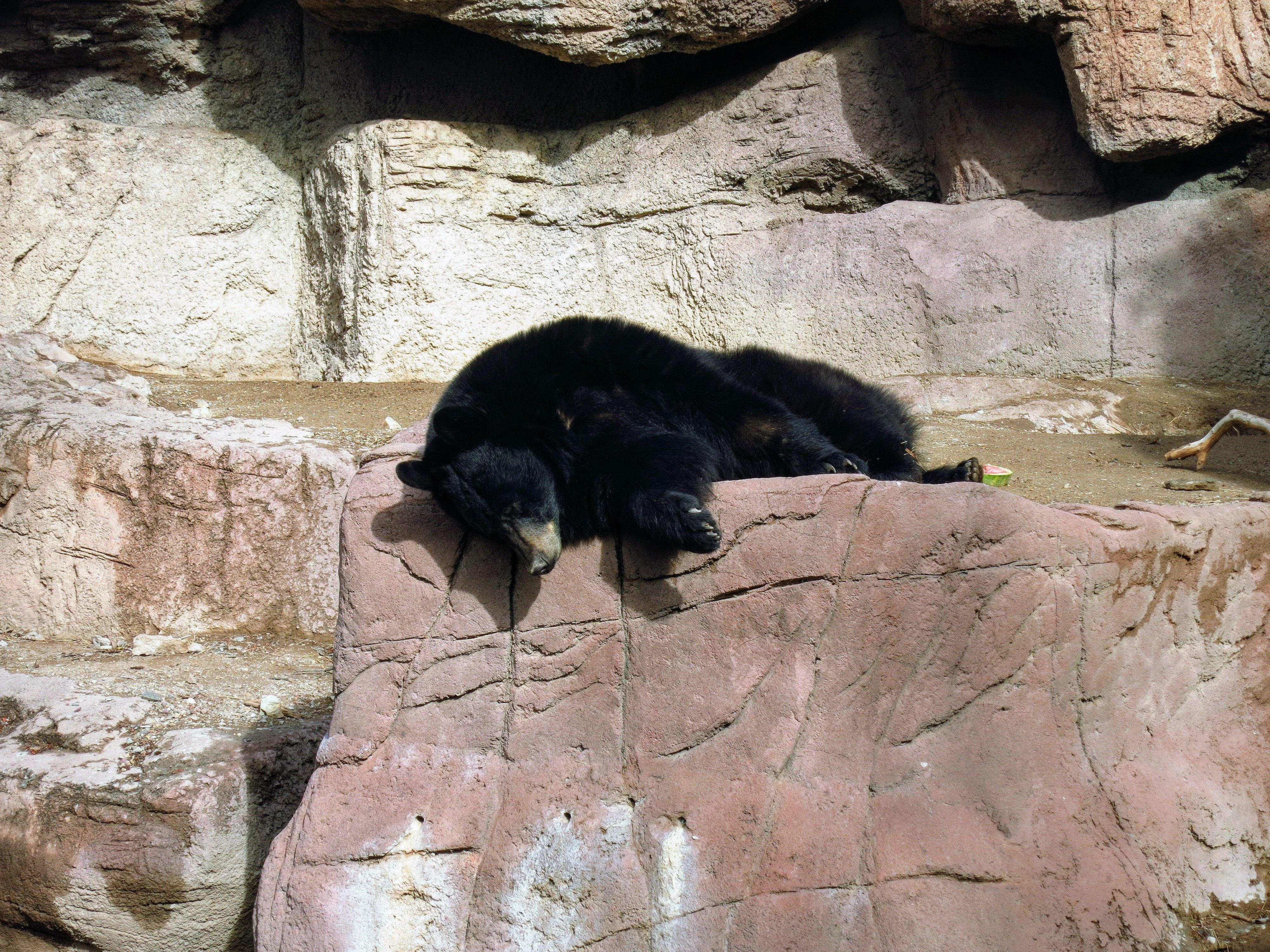 Black Bear at Sonora Arizona Desert Museum