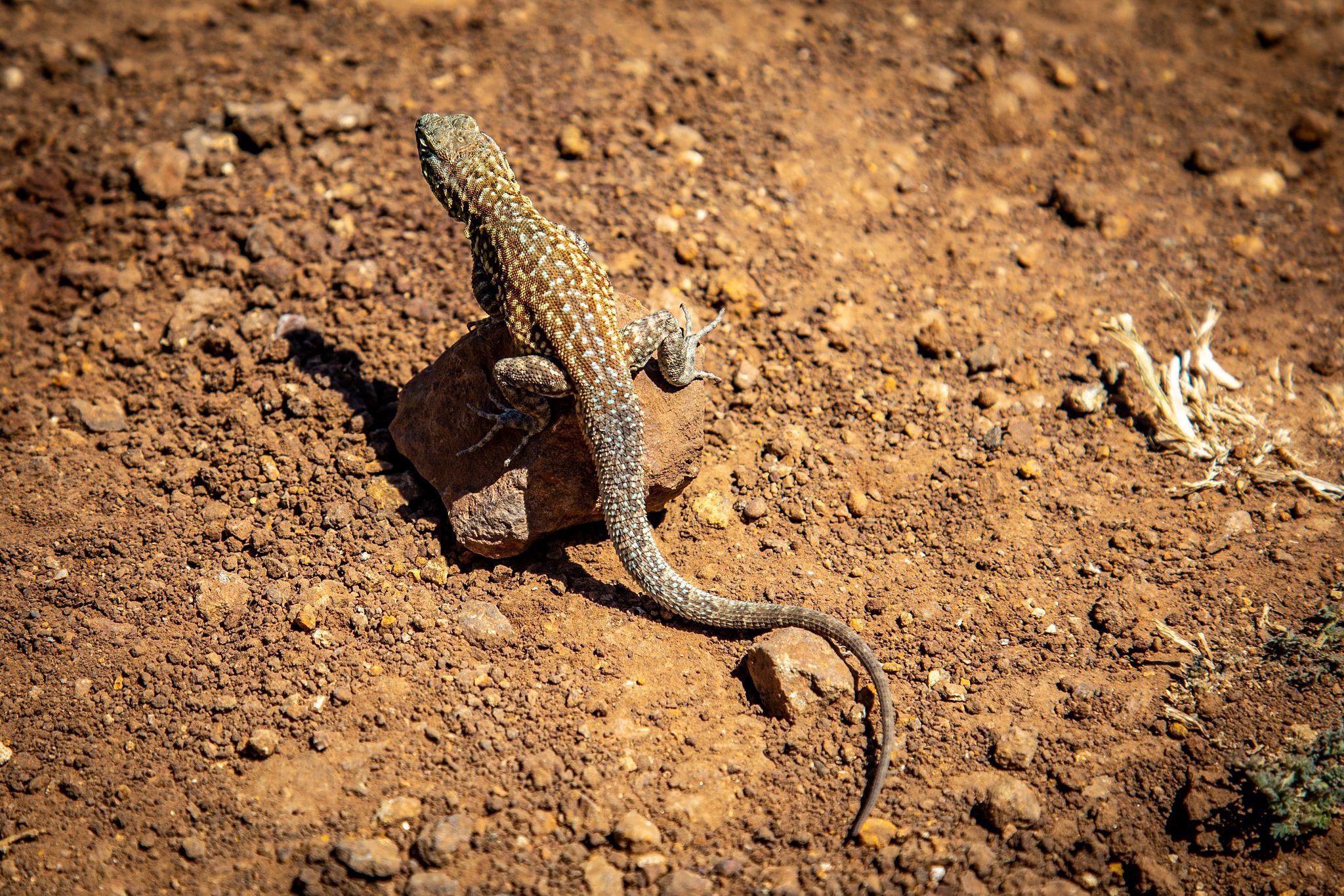 Santa Cruz Lizard
