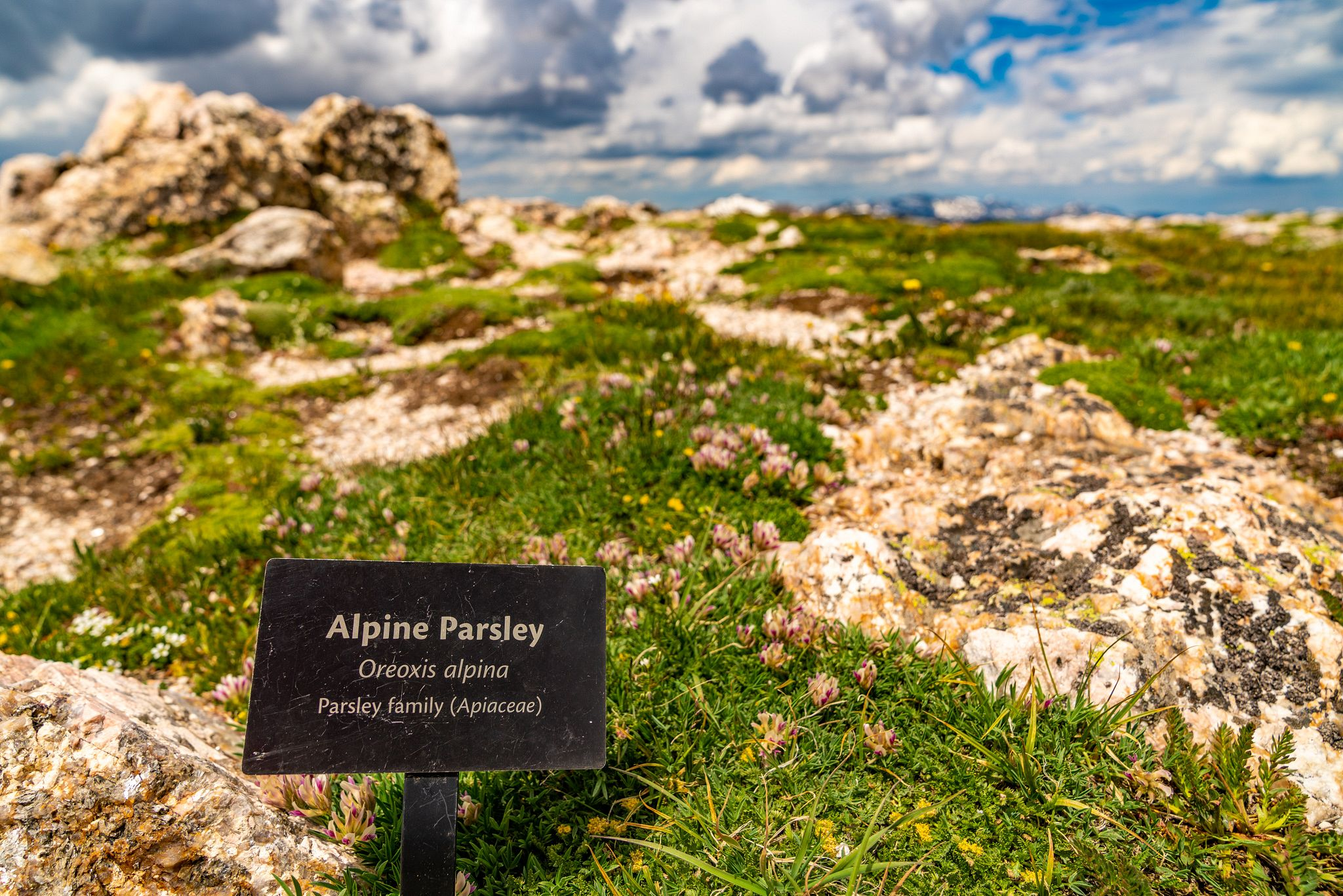 Alpine Parsley