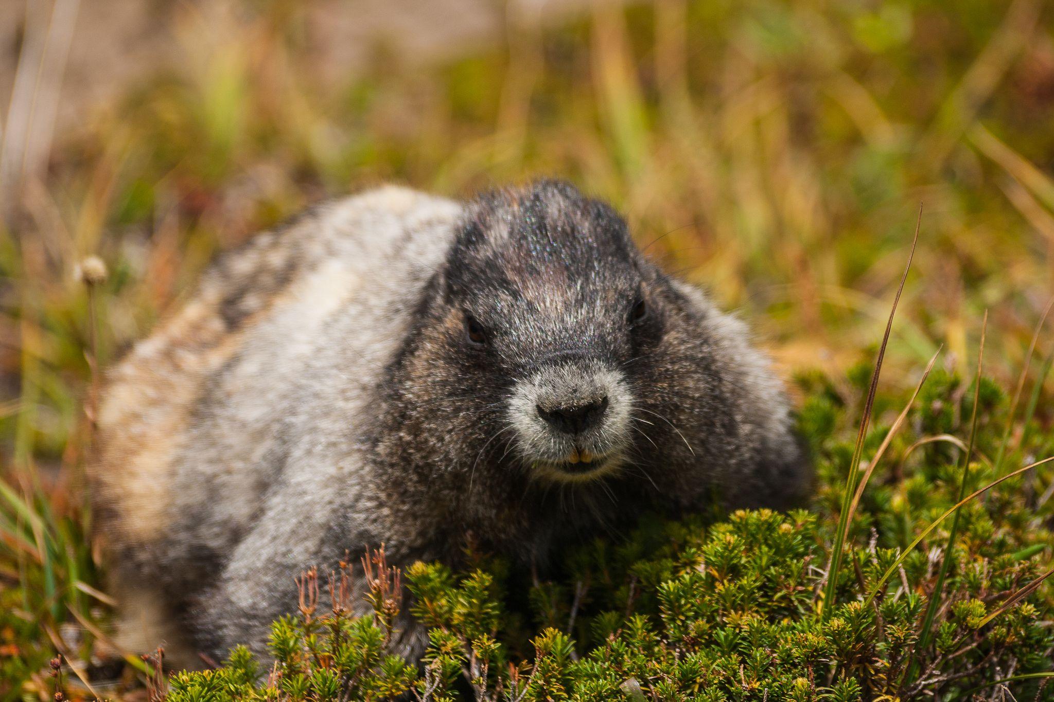Marmot sitting on grass
