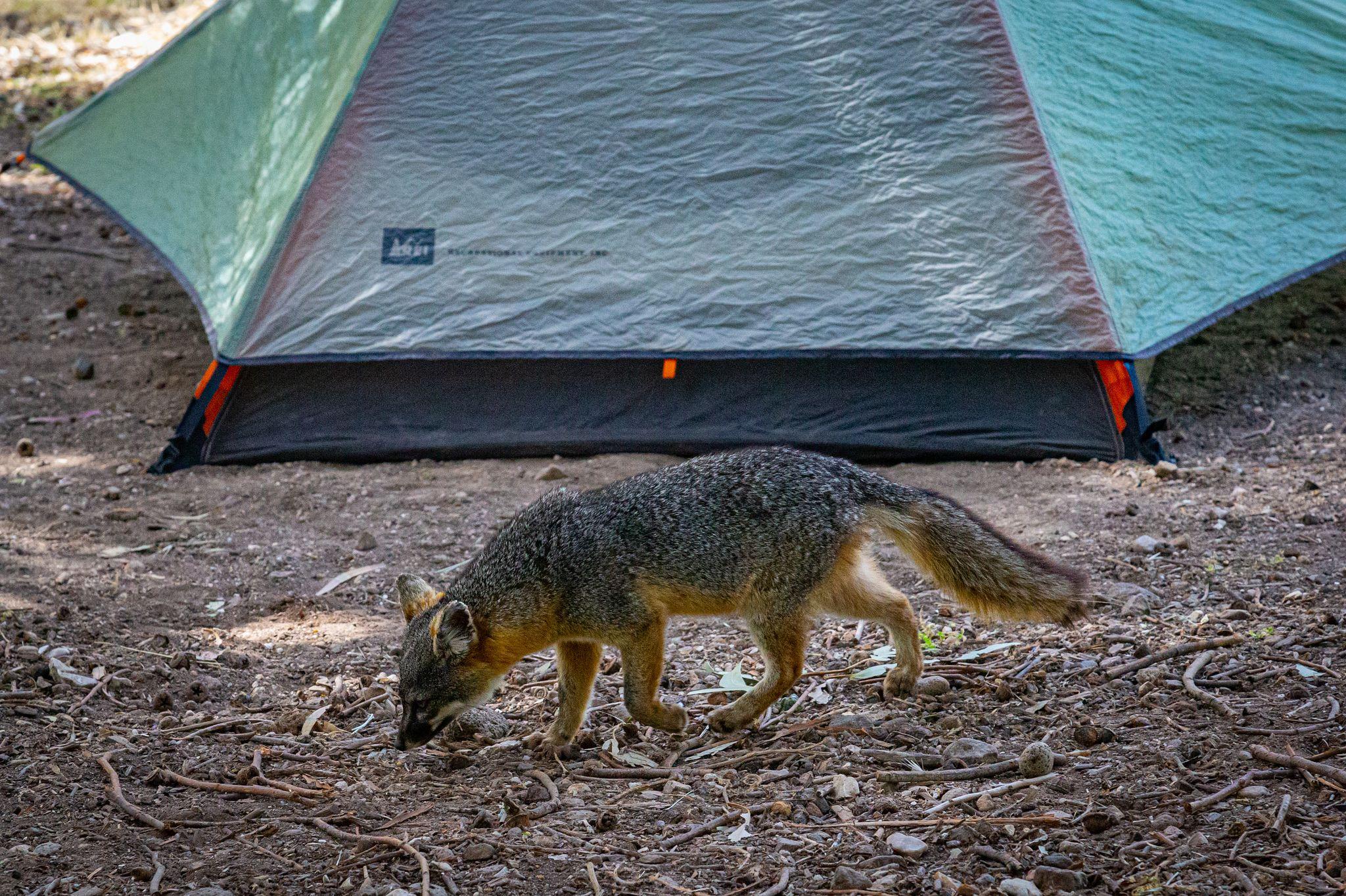 Island Fox near Tent