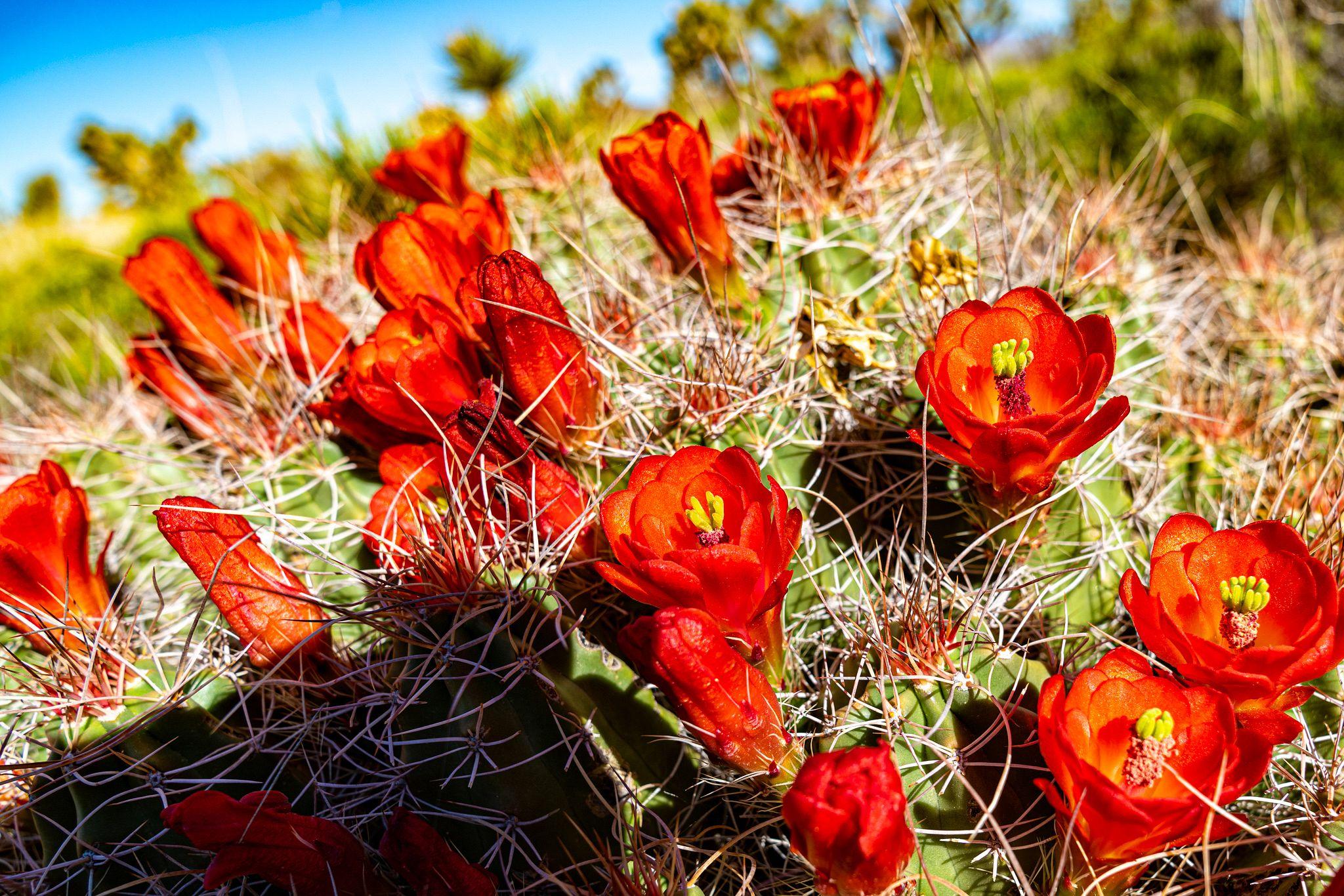 Cacti Flowering