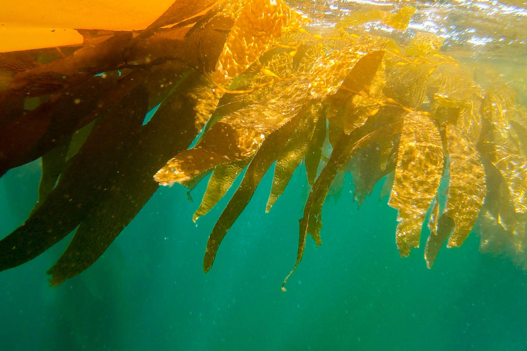 Channel Islands Kelp